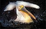 Eastern White Pelican (Pelicanus onocrotalus) Stock Photo - Premium Rights-Managed, Artist: AWL Images, Code: 862-03352689