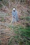 A farmer harvests sugar cane on the banks of the Nile,Egypt Stock Photo - Premium Rights-Managed, Artist: AWL Images, Code: 862-03352774