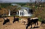 At 400m across and 45m deep,the Blue Nile Falls,known locally as Tis Abay or Smoking Nile,are at their most spectacular after the rainy season in October. Stock Photo - Premium Rights-Managed, Artist: AWL Images, Code: 862-03354006