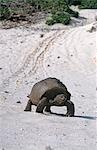 A Giant Tortoise lumbers down a sandy beach on Aldabra. Stock Photo - Premium Rights-Managed, Artist: AWL Images, Code: 862-03354129