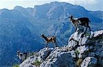 Spain,Picos de Europa. Goats stand on a ridgeline in the Picos de Europa.