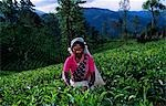 Tamil woman plucking tea. Stock Photo - Premium Rights-Managed, Artist: AWL Images, Code: 862-03354548
