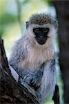 Blackfaced Vervet monkey Stock Photo - Premium Rights-Managed, Artist: AWL Images, Code: 862-03355155