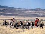 Maasai men,spears in hand,drive their laden donkeys across pristine volcanic grassland at the southern end of Lake Natron. Donkeys carry loads in leather panniers strapped loosely to their flanks