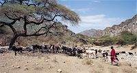 Maasai pastoralists water their livestock at the seasonal Sanjan River,which rises in the Gol Mountains of northern Tanzania. Stock Photo - Premium Rights-Managednull, Code: 862-03355162