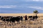 In the late afternoon,a Maasai boy drives his father's cattle home across the grassy plains west of the Lake Manyara National Park. Stock Photo - Premium Rights-Managed, Artist: AWL Images, Code: 862-03355209
