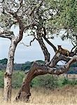 A lioness surveys her surroundings from a comfortable perch in a tree in the Tarangire National Park. Stock Photo - Premium Rights-Managed, Artist: AWL Images, Code: 862-03355213