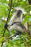 East Africa,Tanzania,Zanzibar. Red Colobus Monkey,Jozani Forest Reserve. One of Africa's rarest primates,the Zanzibar red colobus may number only about 1500. Isolated on this island for at least 1,000 years,the Zanzibar red colobus (Procolobus kirkii) is recognized as a distinct species,with different coat patterns,calls and food habits than the related colobus species on the mainland. Stock Photo - Premium Rights-Managednull, Code: 862-03355264