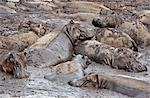 Tanzania,Katavi National Park. Hippos wallow in mud as the Katuma River dries at the end of the long dry season in the Katavi National Park. Stock Photo - Premium Rights-Managed, Artist: AWL Images, Code: 862-03355291
