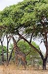 Tanzania,Katavi National Park. A Masai giraffe under large acacia trees. Stock Photo - Premium Rights-Managed, Artist: AWL Images, Code: 862-03355319