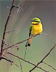 A Little Bee-eater in Katavi National Park,Tanzania. Stock Photo - Premium Rights-Managed, Artist: AWL Images, Code: 862-03355330
