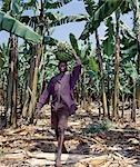 Bananas are grown everywhere in Uganda. Originally native to Southeast Asia,there are now more banana and plantain varieties in the Great Lakes Region of Central Africa than any other place of the world. Green bananas cooked like potatoes and known as matoke are Uganda's national dish. Stock Photo - Premium Rights-Managed, Artist: AWL Images, Code: 862-03355401
