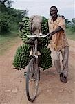 Bananas are grown everywhere in Uganda. Originally native to Southeast Asia,there are now more banana and plantain varieties in the Great Lakes Region of Central Africa than any other place of the world. Green bananas cooked like potatoes and known as matoke are Uganda's national dish.Farmers take them to market on reinforced bicycles as many as five heavy bunches at a time. Stock Photo - Premium Rights-Managed, Artist: AWL Images, Code: 862-03355402