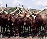 Long-horned Ankole cattle are prized among the people of southwest Uganda and Rwanda. They are an African taurine breed with origins dating back prior to the introduction of humped-back or zebu cattle into the Horn of Africa during the human invasions from Arabia in the seventh century BC. Stock Photo - Premium Rights-Managednull, Code: 862-03355414