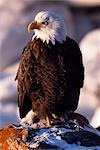 A bald eagle (Haliaeetus leucocephalus) sitting on a rock. The white feather hood gives them the appearence of being bald. Stock Photo - Premium Rights-Managed, Artist: AWL Images, Code: 862-03355549
