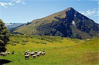 New Zealand,South Island. Flock of sheep and mountain scenery in Mt Aspiring National Park. Stock Photo - Premium Rights-Managednull, Code: 862-03360102