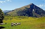 New Zealand,South Island. Flock of sheep and mountain scenery in Mt Aspiring National Park. Stock Photo - Premium Rights-Managed, Artist: AWL Images, Code: 862-03360102