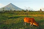 Philippines,Luzon Island,Bicol Province,Mount Mayon (2462m). Near perfect volcano cone with a plume of smoke and a cow in the field. Stock Photo - Premium Rights-Managed, Artist: AWL Images, Code: 862-03360775