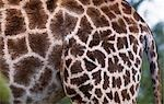 Giraffe skin (Giraffa camelopardalis) Stock Photo - Premium Rights-Managed, Artist: AWL Images, Code: 862-03361109