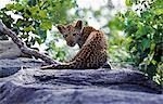 South Africa,Sabi Sands Game Reserve. A Leopard cub (Panthera pardus). Stock Photo - Premium Rights-Managed, Artist: AWL Images, Code: 862-03361111