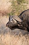 African Buffalo (Syncerus caffer),also known as Cape Buffalo,in Kruger National Park,South Africa. Stock Photo - Premium Rights-Managed, Artist: AWL Images, Code: 862-03361225