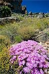South Africa,Western Cape,Cederberg Conservancy. An alpine flower decorates the side of one of the many hiking trails that criss cross the mountains of the Cederberg Conservancy. Stock Photo - Premium Rights-Managed, Artist: AWL Images, Code: 862-03361247