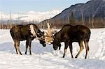 Two captive bull moose fighting during rutting season, Alaska Wildlife Conservation Center, Southcental, Autumn Stock Photo - Premium Rights-Managed, Artist: AlaskaStock, Code: 854-03361900