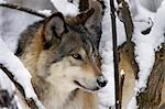 Close up portrait of adult gray wolf, Alaska Wildlife Conservation Center, Southcentral Alaska, Winter Stock Photo - Premium Rights-Managed, Artist: AlaskaStock, Code: 854-03361951