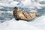 Harbor Seal hauled out on an ice floe at Meares Glacier in Prince William Sound, Southcentral Alaska, Summer Stock Photo - Premium Rights-Managed, Artist: AlaskaStock, Code: 854-03361959