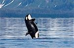 A young Killer Whale leaps from the calm waters of Lynn Canal in Alaska's Inside Passage. Stock Photo - Premium Rights-Managed, Artist: AlaskaStock, Code: 854-03362000
