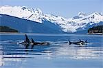 Orca surface in Lynn Canal near Juneau with Herbert Glacier and Coast Range beyond, Inside Passage, Alaska Stock Photo - Premium Rights-Managed, Artist: AlaskaStock, Code: 854-03362008