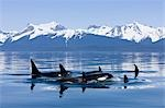 Orca surface in Lynn Canal near Juneau with Coast Range beyond, Inside Passage, Alaska Stock Photo - Premium Rights-Managed, Artist: AlaskaStock, Code: 854-03362009