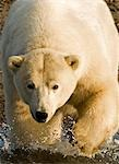Polar bear walking into the coastal waters near Kaktovik, Alaska Stock Photo - Premium Rights-Managed, Artist: AlaskaStock, Code: 854-03362115