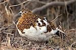 Portrait of Willow Ptarmigan female with spring plummage, Denali National Park, Interior Alaska Stock Photo - Premium Rights-Managed, Artist: AlaskaStock, Code: 854-03362180