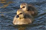 Two newborn Canadian gosling chicks swimming in Potter Marsh, Anchorage, Southcentral Alaska, Spring Stock Photo - Premium Rights-Managed, Artist: AlaskaStock, Code: 854-03362186