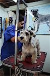 Mexico,Mexico City. A dog having its hair cut. Stock Photo - Premium Rights-Managed, Artist: AWL Images, Code: 862-03364426