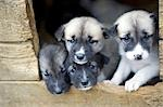 Norway,Troms,Tromso. Young Husky puppies,bred for a dog sledding centre,crowd the doorway to their kennel. Stock Photo - Premium Rights-Managed, Artist: AWL Images, Code: 862-03365605