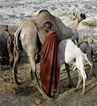 A Samburu woman milks a camel at her homestead in the early morning. The proximity of the calf helps to stimulate the flow of milk. Baby camels have a wool-like texture to their coats,which they lose after six month. Stock Photo - Premium Rights-Managed, Artist: AWL Images, Code: 862-03366026