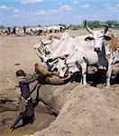 Turkana women and girls are responsible for watering livestock,which is unusual among pastoral societies. Here,a girl waters cattle from a Waterhole dug in the sand of a seasonal watercourse. The Turkana manipulate the horns of their ox's into perfect symmetry or any whimsical shape that takes the owner's fancy. Stock Photo - Premium Rights-Managed, Artist: AWL Images, Code: 862-03366137