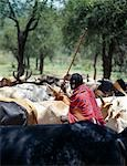 A Maasai elder herds his cattle near the foothills of Ol doinyo Orok (the Black Mountain). Stock Photo - Premium Rights-Managed, Artist: AWL Images, Code: 862-03366160