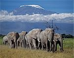 A herd of elephants (Loxodonta africana) strides out beneath Mount Kilimanjaro,Africa's highest snow-capped mountain at 19,340 feet above sea level. Stock Photo - Premium Rights-Managed, Artist: AWL Images, Code: 862-03366197