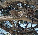 A male leopard (Panthera pardus) rests is a Ballanites tree in the heat of the day. Stock Photo - Premium Rights-Managed, Artist: AWL Images, Code: 862-03366245