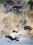 During the annual migration of up to 1.5 million wildebeest from Serengeti,Tanzania,to the Mara and back each year,the animals ford or swim across the Mara River on several occasions. Stock Photo - Premium Rights-Managed, Artist: AWL Images, Code: 862-03366256