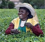 A Tea picker on an estate near Kericho,the main tea growing region of Kenya. Tea is Kenya's most important export crop. Stock Photo - Premium Rights-Managed, Artist: AWL Images, Code: 862-03366259