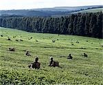 Tea pickers on a large estate near Kericho,the centre of Kenya's most important export crop. Many of the estates adjoin the Mau Forest,an important watershed for Lake Victoria. Stock Photo - Premium Rights-Managed, Artist: AWL Images, Code: 862-03366260