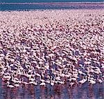 Tens of thousands of lesser flamingos (Phoeniconaias minor) line the shores of Lake Bogoria,feeding on blue-green algae (Spirulina platensis) that grows profusely in its warm alkaline waters. Stock Photo - Premium Rights-Managed, Artist: AWL Images, Code: 862-03366269