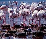 Greater flamingos (Phoenicopterus ruber) stand watch over their eggs and chicks at Lake Bogoria. Only on very rare occasions do the birds breed on this warm,alkaline lake. Stock Photo - Premium Rights-Managed, Artist: AWL Images, Code: 862-03366271