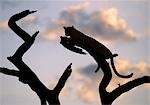A leopard rests on the branch of a dead tree at sunset. Stock Photo - Premium Rights-Managed, Artist: AWL Images, Code: 862-03366287