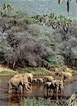 Elephants watering in the Uaso Nyiru River. Stock Photo - Premium Rights-Managed, Artist: AWL Images, Code: 862-03366333