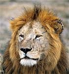 A fine male lion.Adult male lions weigh up to 500lb. They begin to grow manes at the age of eighteen months,which will not fully develop until the age of five or six. Stock Photo - Premium Rights-Managed, Artist: AWL Images, Code: 862-03366434